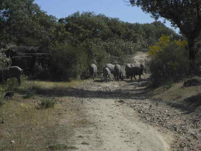 Piara de cerdos por el camino