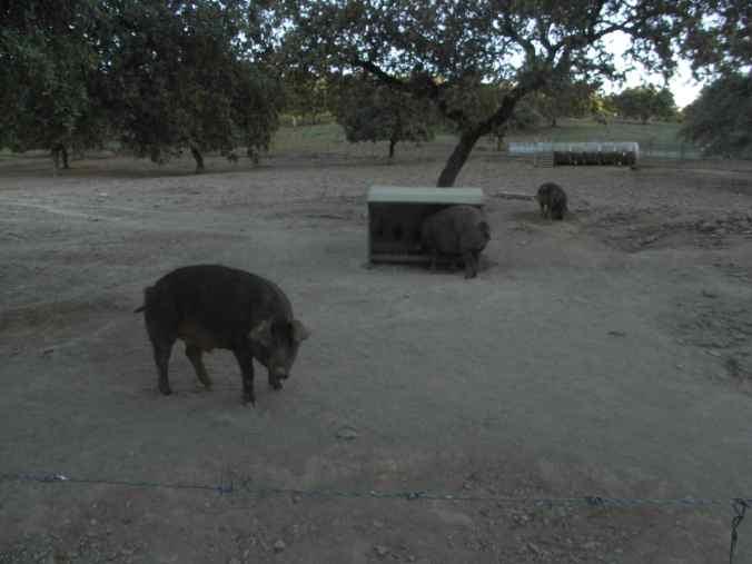 Los primeros cerdos ibéricos del camino