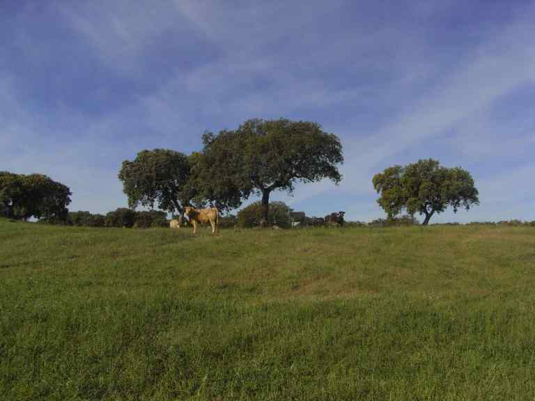 Vacas mirando mientras Joseba piensa en comer hierba