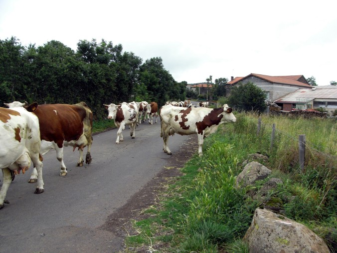 Caminando entre vacas