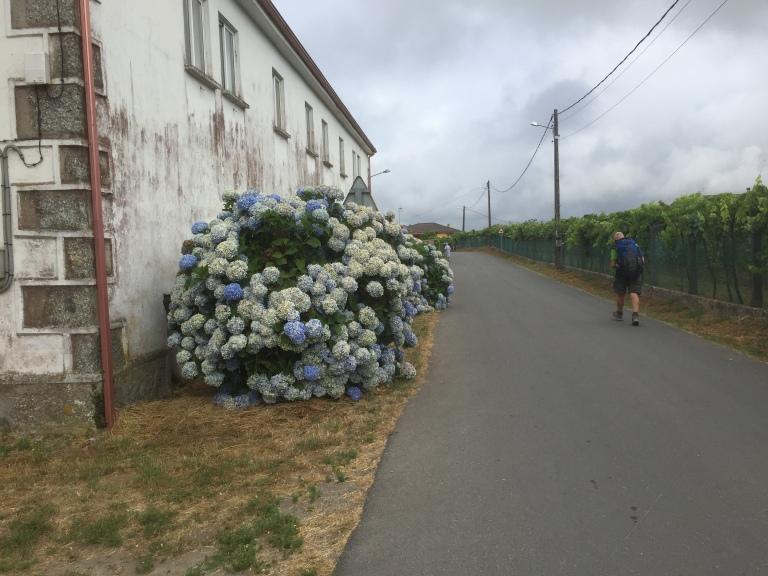 Hortensias en el camino